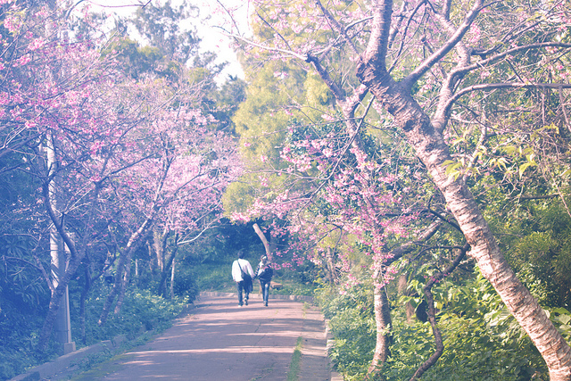 Cherry tree lined trail