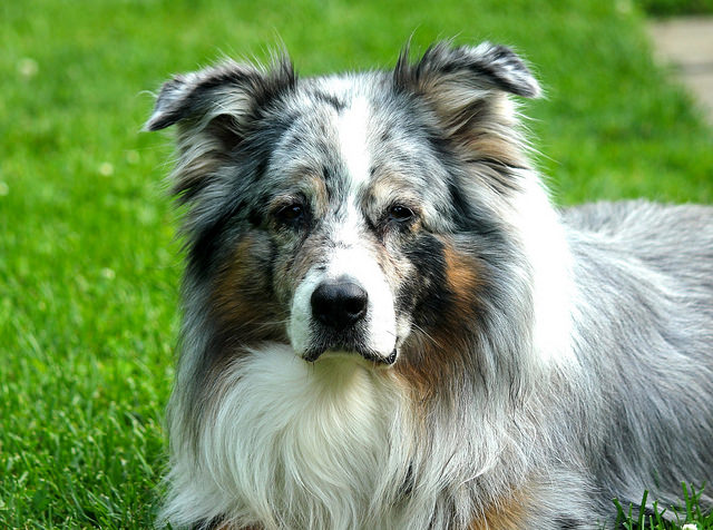 blue merle collie