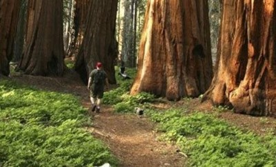 giant sequoia trees and person walking