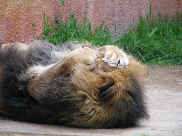 Lion cover its face with his paws