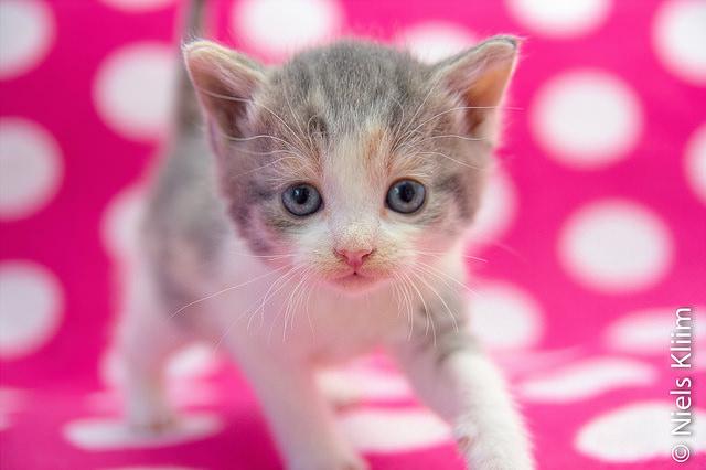 Kitten on a polka dotted blanket