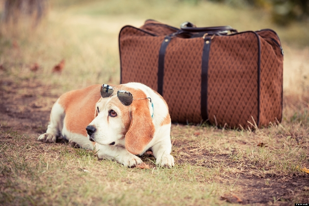 beagle on grass next to leather bag with sunglasses