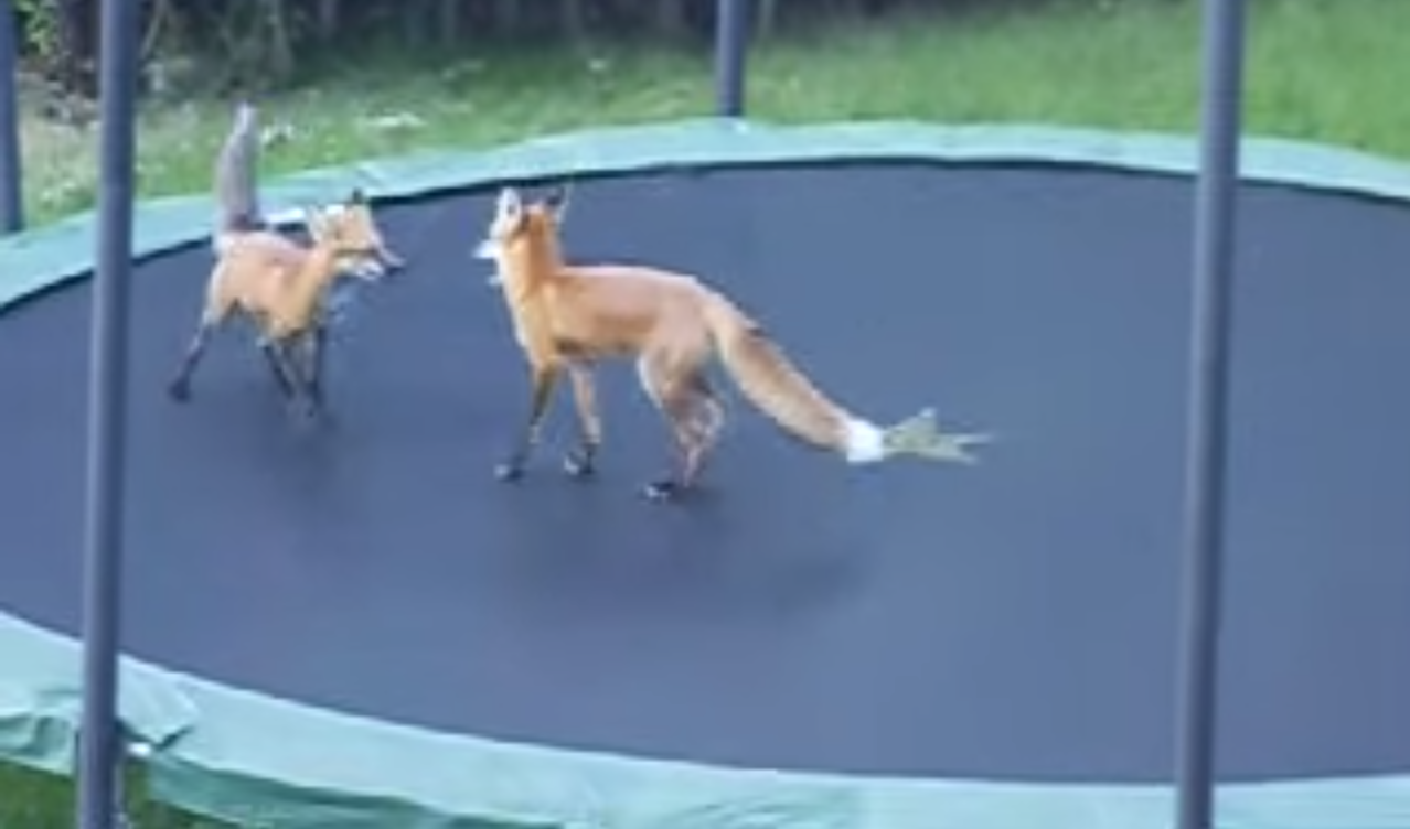 two foxes on a tramopline