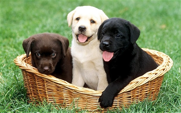 black yellow and chocolate lab puppies in a basket