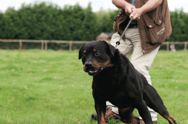 rottweiler pulling on leash