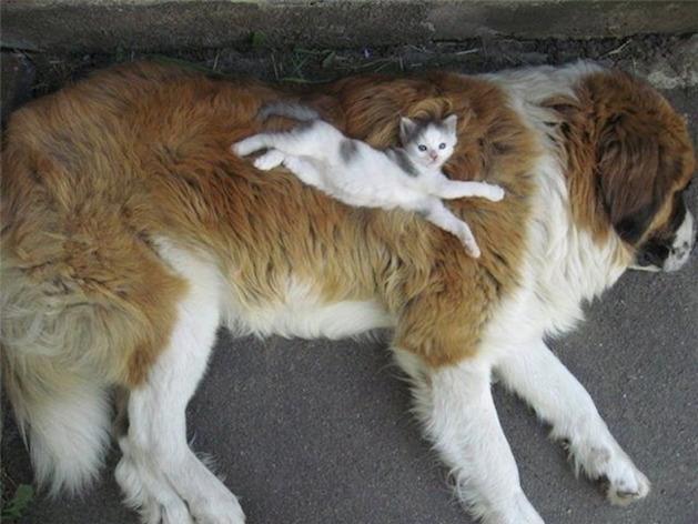 kitten laying on a st. bernard