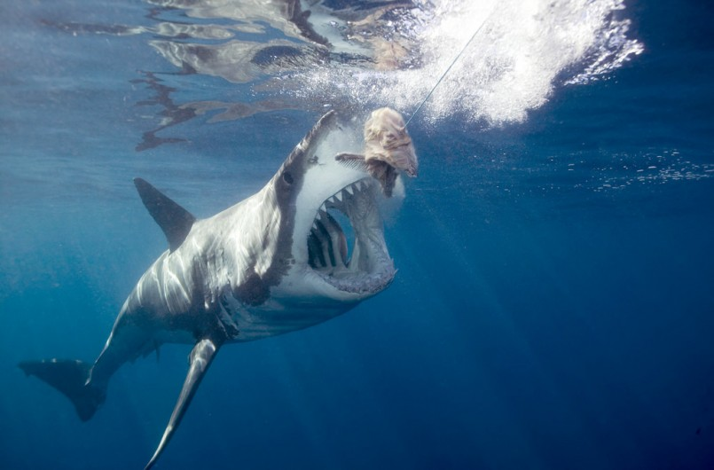 Great white shark about to eat bait