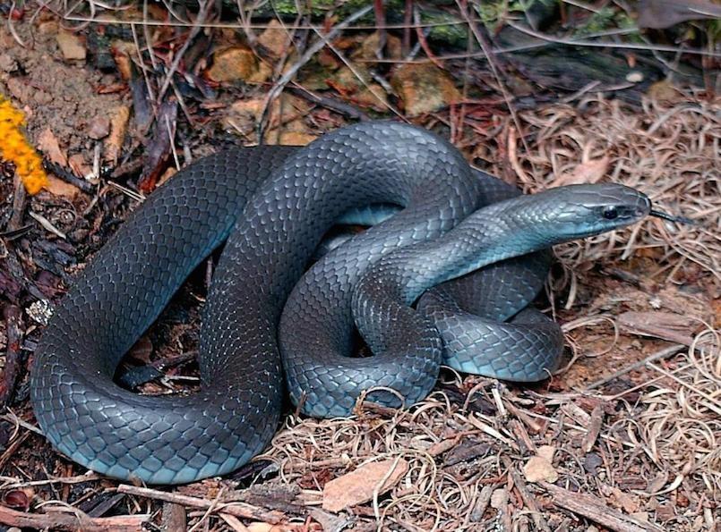 Pseudechis guttatus blue bellied black snake