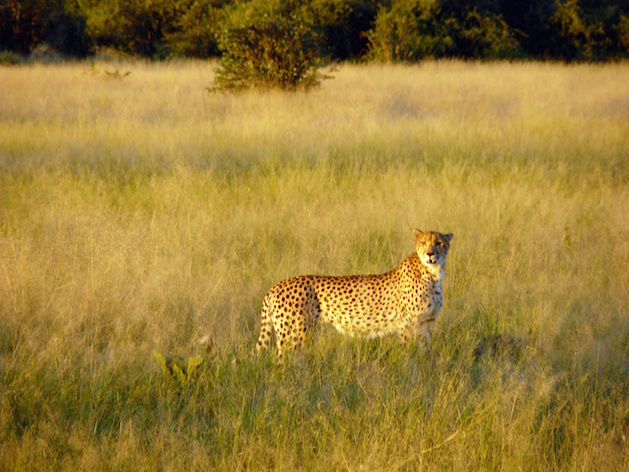 cheetah in Chobe National Park