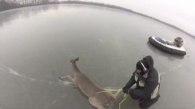 man tying rope to deer on frozen lake ice