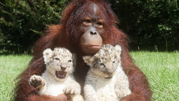 orangatang with tiger cubs