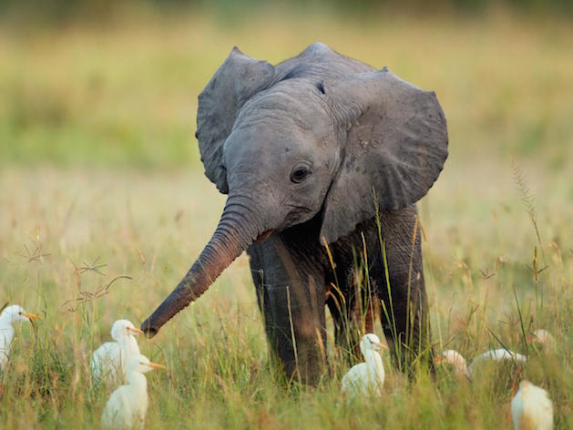 baby elephant playing with birds