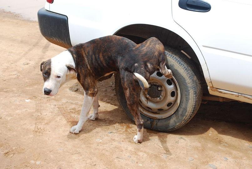 dog urinating on car tire
