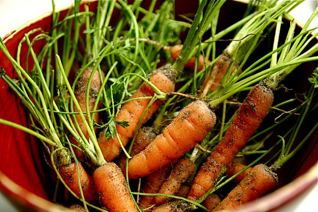 Baby Organic Carrots from Garden with dirt