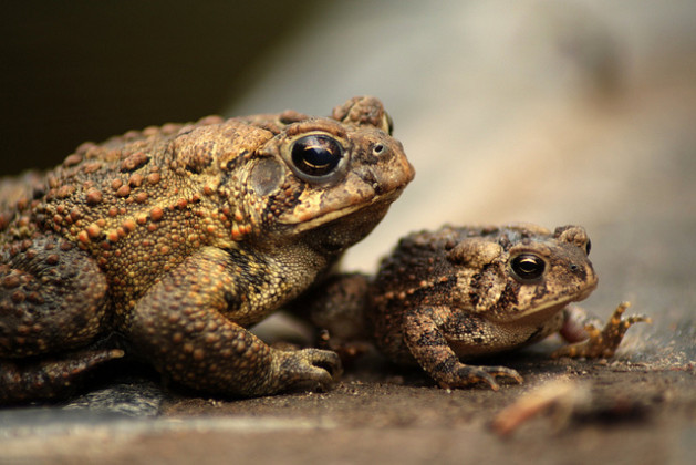 two toads one big one small baby