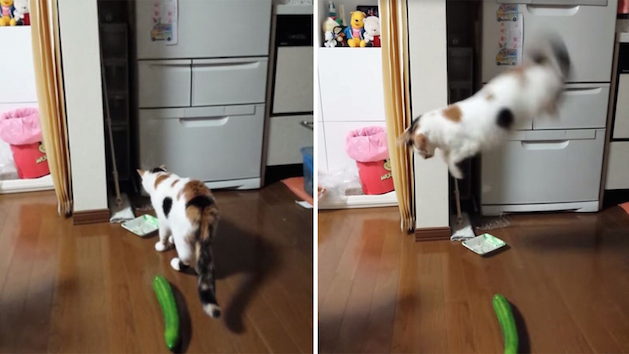 cat jumping scared at cucumber
