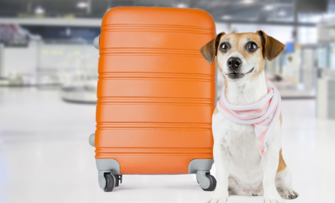 Beautiful dog in a stylish scarf waits at the airport. Sitting near the orange suitcase
