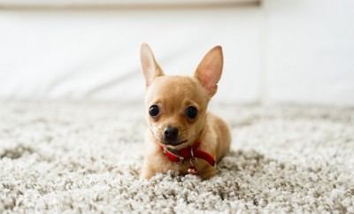 Cute chihuahua dog playing on living room's carpet and looking at camera