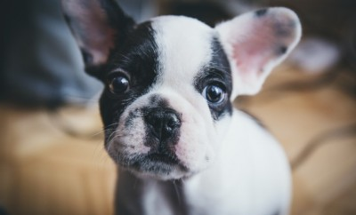 cute black and white french bulldog puppy