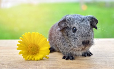 guinea-pig-smooth-hair-silver-black-and-white-agouti