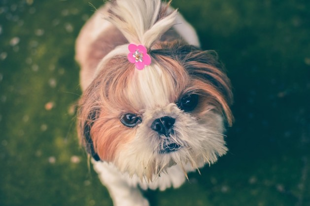 small dog with pink flower clip in her fur