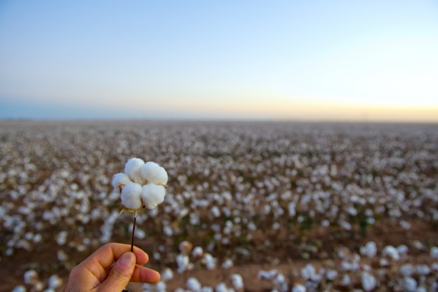 cotton field at harvest with a close-up of a cotton boll