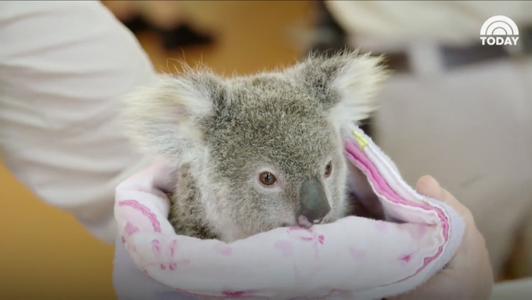 This Orphaned Koala Found Comfort In A Stuffed Animal