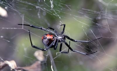 spider-australian-red-back-spider-at-rest-on-web-with-leaf-litter
