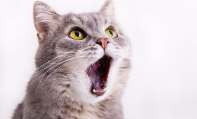 The gray cat looks up, mewing and having widely opened a mouth. Horizontal shot, white background, close up