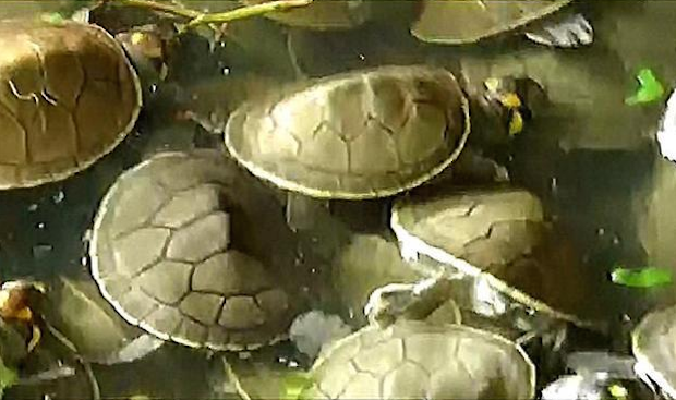 turtles swimming together