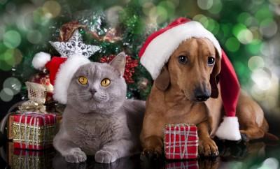 british-kitten-and-dog-dachshund