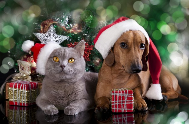 british-kitten-and-dog-dachshund