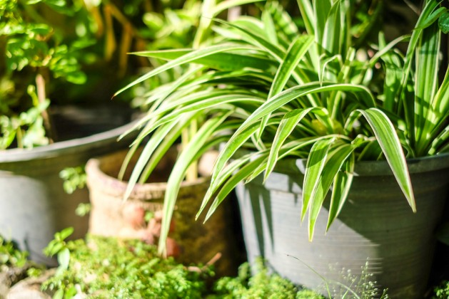 Fresh leaves spider plant pot in house garden with morning sunlight and selective focus