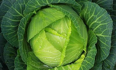 soft-focus-of-big-cabbage-in-the-garden
