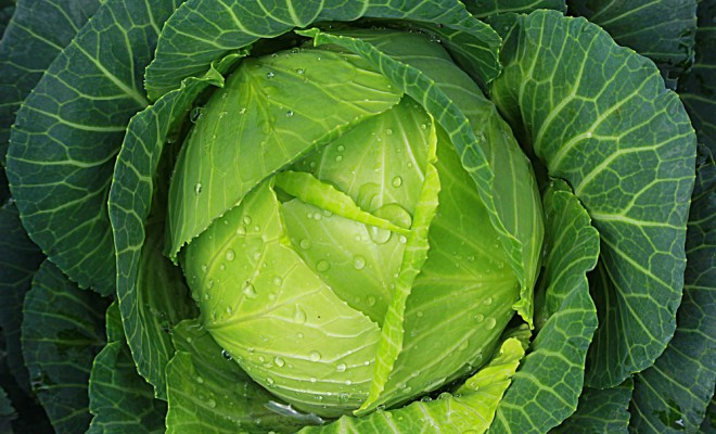 soft-focus-of-big-cabbage-in-the-garden